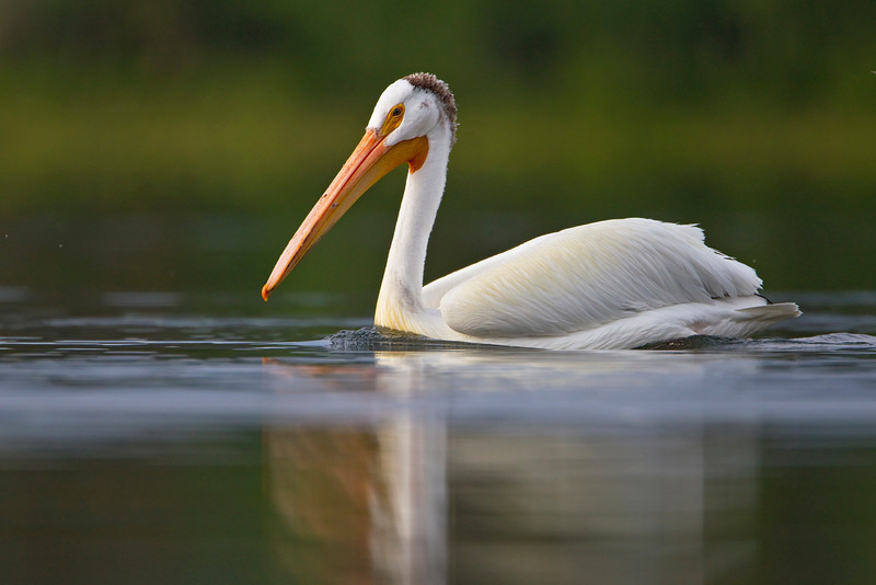Early morning Pelican