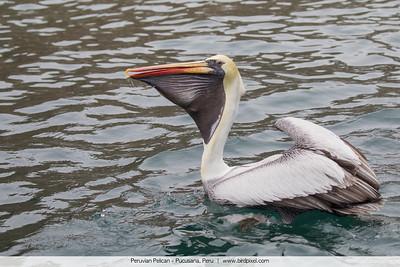 Peruvian Pelican - Pucusana, Peru