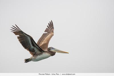 Peruvian Pelican - Lima, Peru