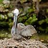 Brown Pelican on nest