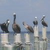 Pelicans on row of posts