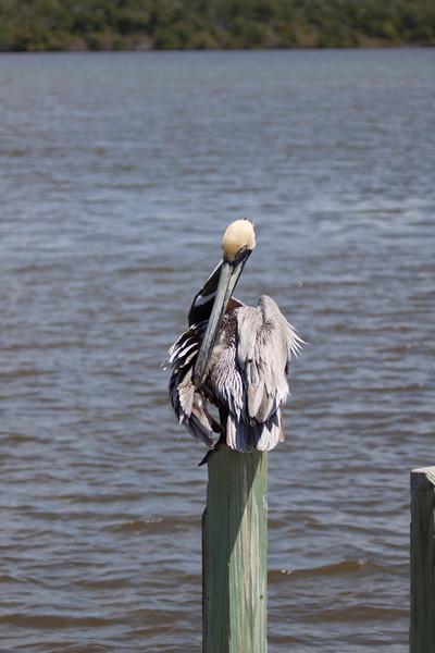 Brown Pelican preening itself