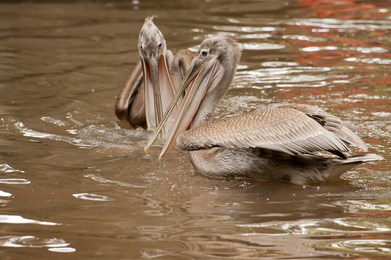 Juvenile Brown Pelicans SS14413