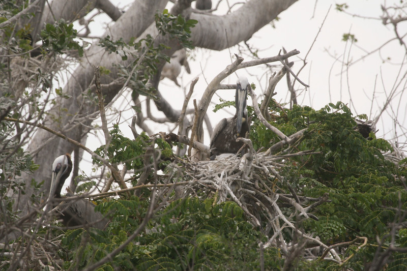 Nesting Brown Pelicans