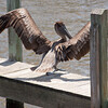 Juvenile Brown Pelican SS34631