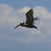 Pelican in fligjt