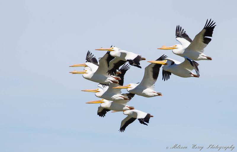 White Pelicans in flight