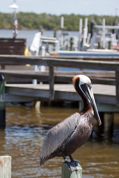 Brown Pelican waits at dock