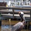 Brown Pelican waits at dock