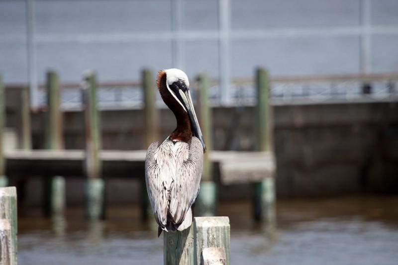 Brown Pelican waiting