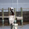 Brown Pelican waiting