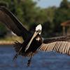 Pelicans : Pelicans
