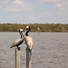 Two Pelicans on Post SS34714