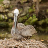 Female Brown Pelican on Nest SS14260