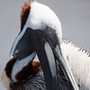 Up close Brown Pelican