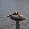 Brown Pelican sits on post at the dock