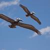 Flying Brown Pelicans SS34614