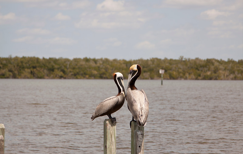 Two Brown Pelicans SS34714