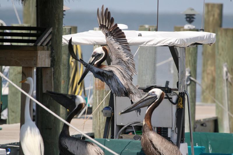 Birds at Dock SS71095
