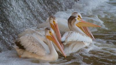 Pelicans - Lockport,MB