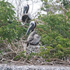 Brown Pelicans on Nests SS71464
