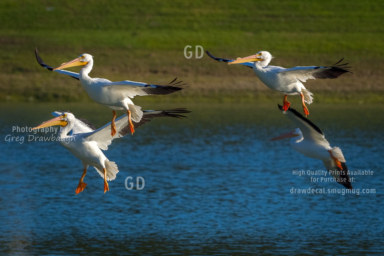 Quarter of Pelicans