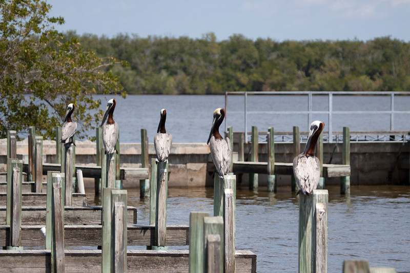 Brown Pelicans lined up on posts