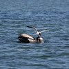 Pelican and seagull fighting over a fish