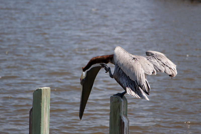 Brown Pelican sits on posts looking in the water