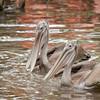Juvenile Brown Pelicans SS14422