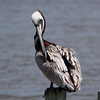 Brown Pelican preening itself