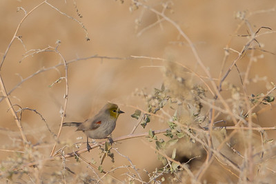 Verdin - Poe Road, Salton Sea Area, CA, USA