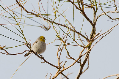 Verdin - SSSBNWR Headquarters, Salton Sea Area, CA, USA