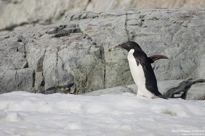 Adelie Penguin - Antarctica