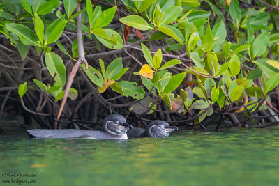 Galapagos Penguin - Elizabeth Bay, Isla Isabela, Galapagos, Ecuador