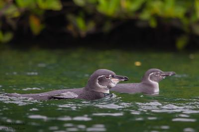 Galapagos Penguins - Elizabeth Bay, Isla Isabela, Galapagos, Ecuador