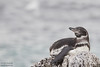 Galapagos Penguin - Punta Moreno, Isla Isabela, Galapagos, Ecuador