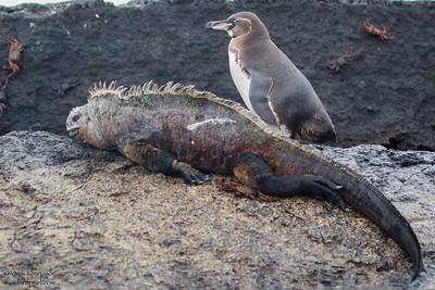 Galapagos Penguin & Marine Iguana - Punta Moreno, Isla Isabela, Galapagos, Ecuador