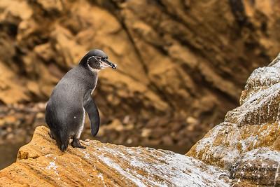 Galapagos Penguin - Punta Vicente Roca, Isla Isabela, Galapagos, Ecuador