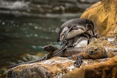 Galapagos Penguins mating on a Marine Iguana's back - Galapagos, Ecuador
