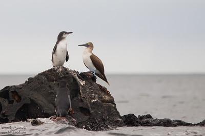 Galapagos Penguins & Blue-footed Booby - Punta Moreno, Isla Isabela, Galapagos, Ecuador