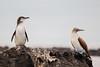 Galapagos Penguin & Blue-footed Booby - Punta Moreno, Isla Isabela, Galapagos, Ecuador