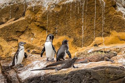 Galapagos Penguin - Galapagos, Ecuador