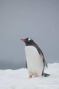 Gentoo Penguin - Antarctica