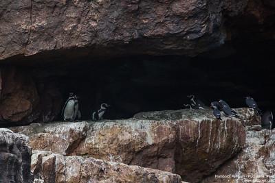 Humboldt Penguin - Pucusana, Peru