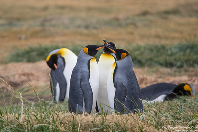 King Penguin - Chile