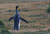 King Penguin - Chile