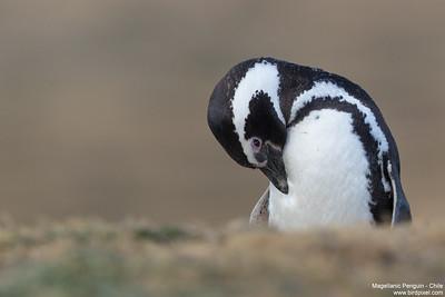 Magellanic Penguin - Chile