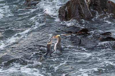 A squabble between 2 Penguins