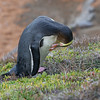 Yellow-eyed Penguin preening